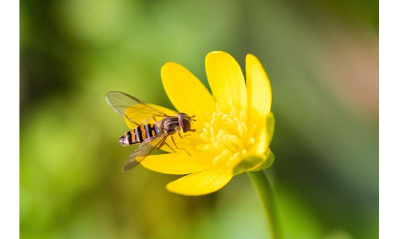 Migratory hoverflies 'key' as many insects decline