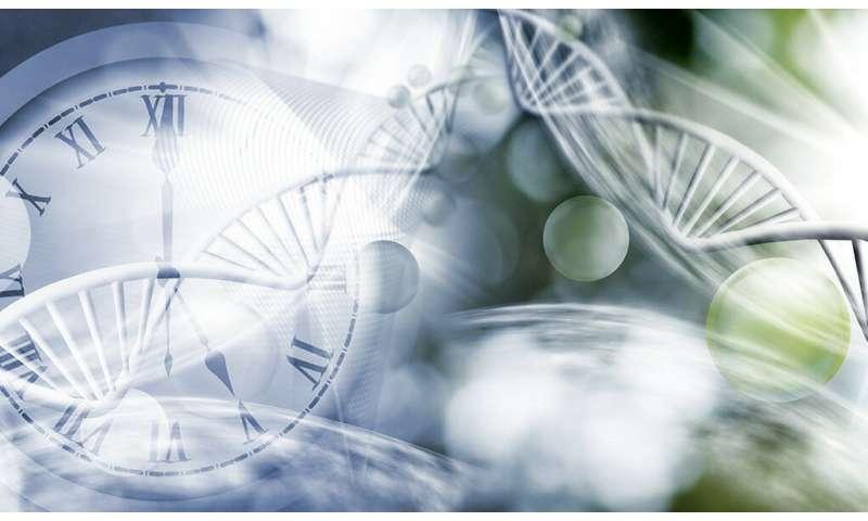 Molecular clock influences immune cell responses