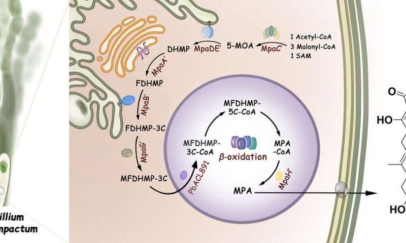 Mystery of immunosuppressive drug's biosynthesis finally unlocked