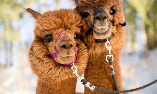 Nanobodies from alpacas could help bring therapy to solid tumors