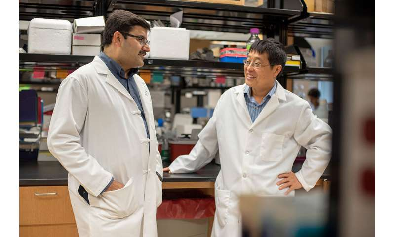 Natural antioxidant helps improve immune-based therapies by modulating T-cells