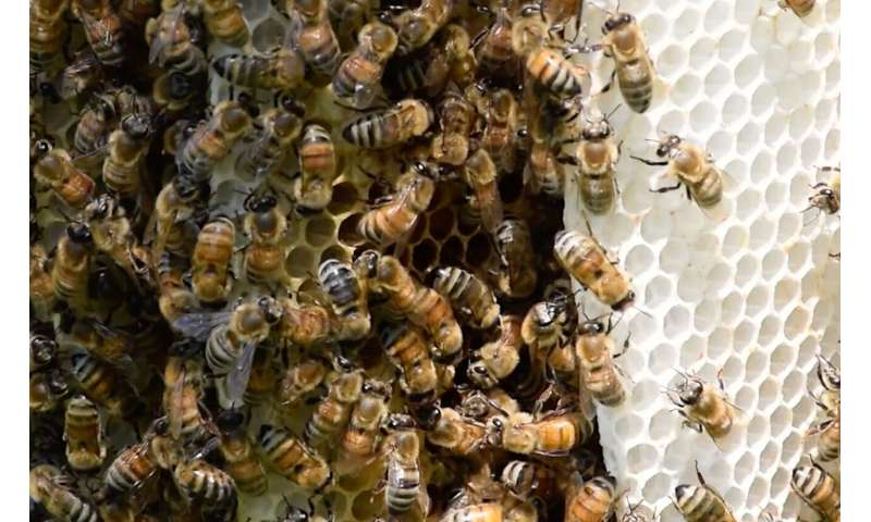 Neonics hinder bees' ability to fend off deadly mites, U of G study reveals