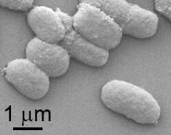 New microorganism for algae biomass to produce alternative fuels