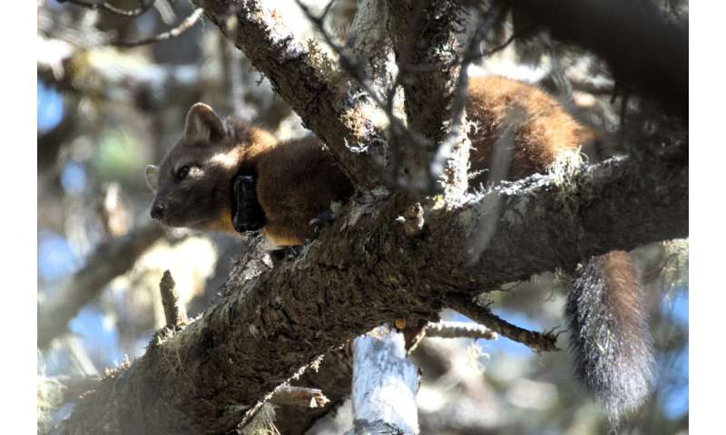 New scat study provides clues to puzzling existence of Humboldt martens in Oregon Dunes National Recreation Area