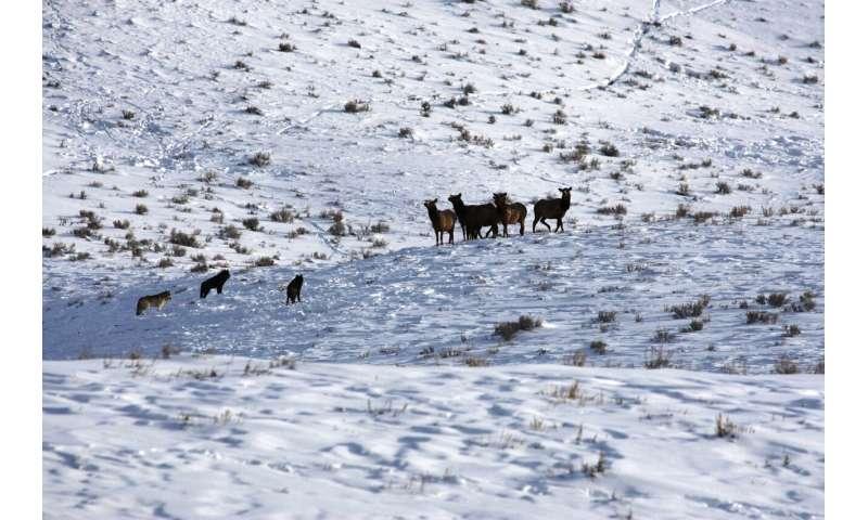 New study questions effects of reintroducing top predators