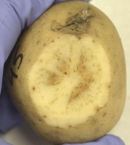 New variety of zebra chip disease threatens potato production in southwestern Oregon