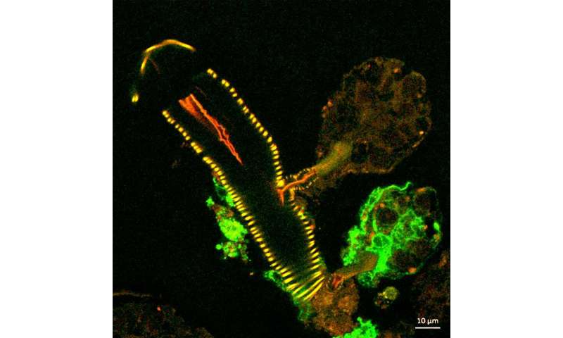 NIH scientists explore tick salivary glands as tool to study virus transmission and infection