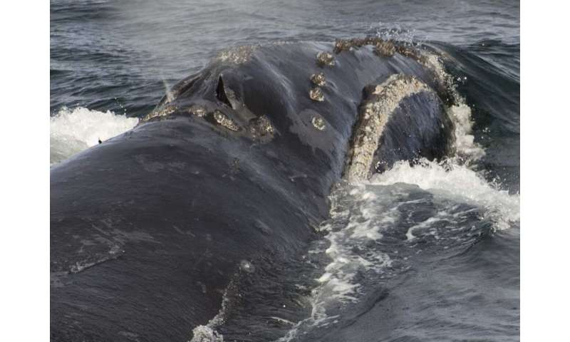 NOAA Fisheries biologists record singing by rare right whale