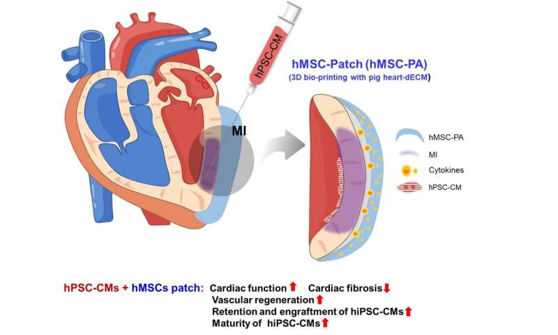 Novel dual stem cell therapy improving cardiac regeneration