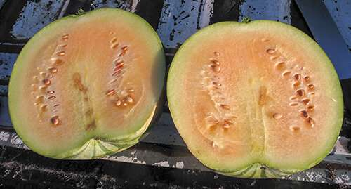 Novel watermelon rootstock knocks out disease and pests
