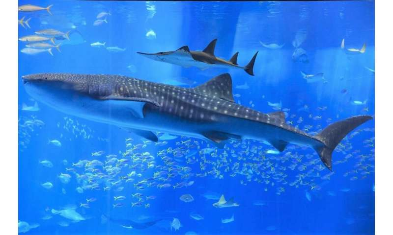Ocean giant gets a health check: Combination blood, tissue test reveals whale shark diets