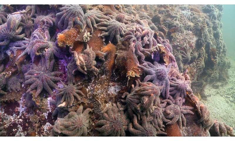 Once-abundant sea stars imperiled by disease along West Coast
