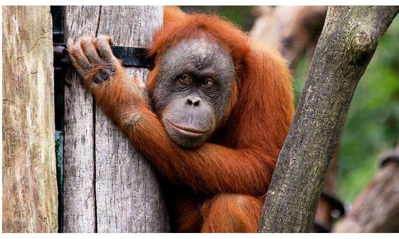 [Image: orangutansma.jpg]