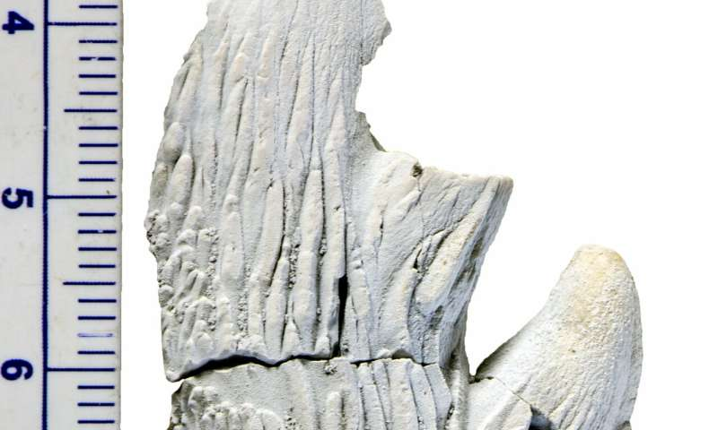 Otago researcher contributes piece to the puzzle of baleen whales' evolution