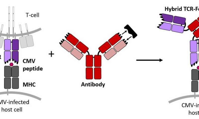 Outfitting T cell receptors to combat a widespread and sometimes deadly virus