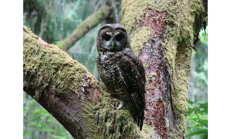 Owls against owls in a challenge for survival
