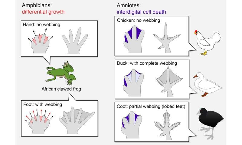 Oxygen shapes arms and legs: Origins of a new developmental mechanism called 'interdigital cell death'