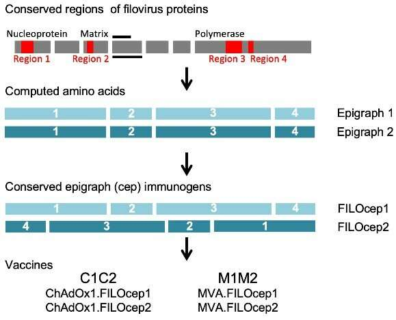 Pan-filovirus T-cell vaccine protects mice from Ebola and Marburg