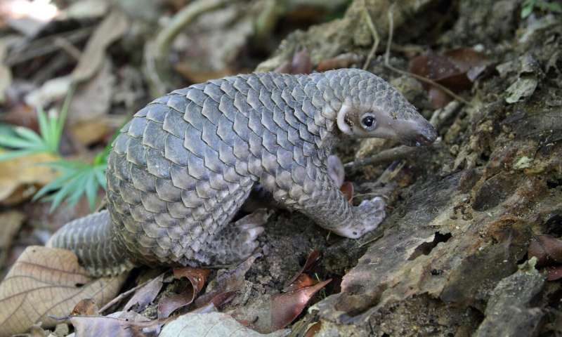 Pangolins set new world record… but no one is celebrating