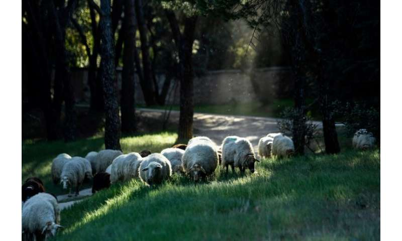 """People can """"sponsor"""" one of the sheep by paying 30-90 euros ($34-$100) a year to help support the project"""