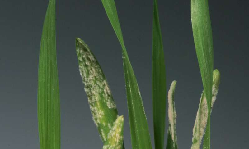 Plants can skip the middlemen to directly recognize disease-causing fungi