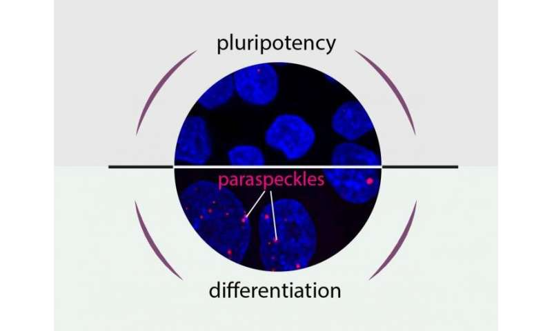 Pluripotency or differentiation -- That is the question