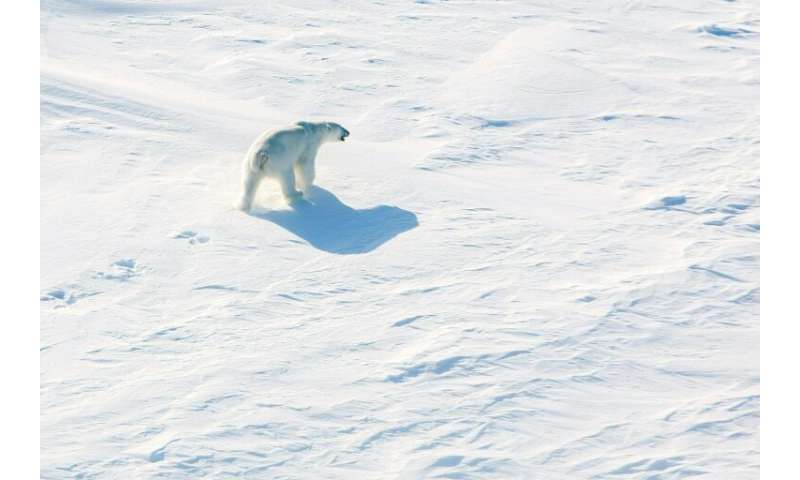 Polar bears are affected by global warming with melting Arctic ice forcing them to spend more time on land where they compete fo
