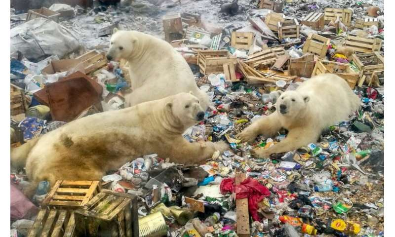 Polar bears feed at a garbage dump near the village of Belushya Guba, on the remote northern Russian archipelago of Novaya Zemly