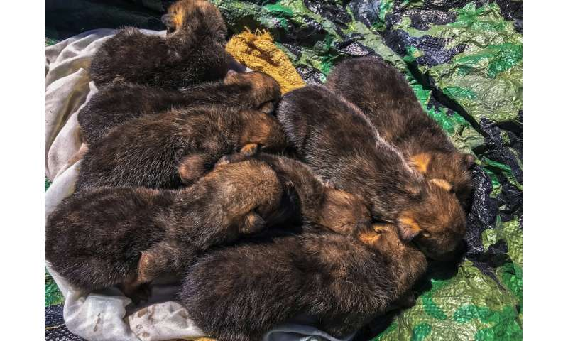Pup fostering gives genetic boost to wild Mexican wolves