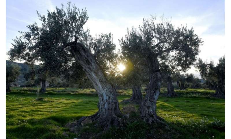 """These olive trees have given a great deal to past generations,"" Plana says"