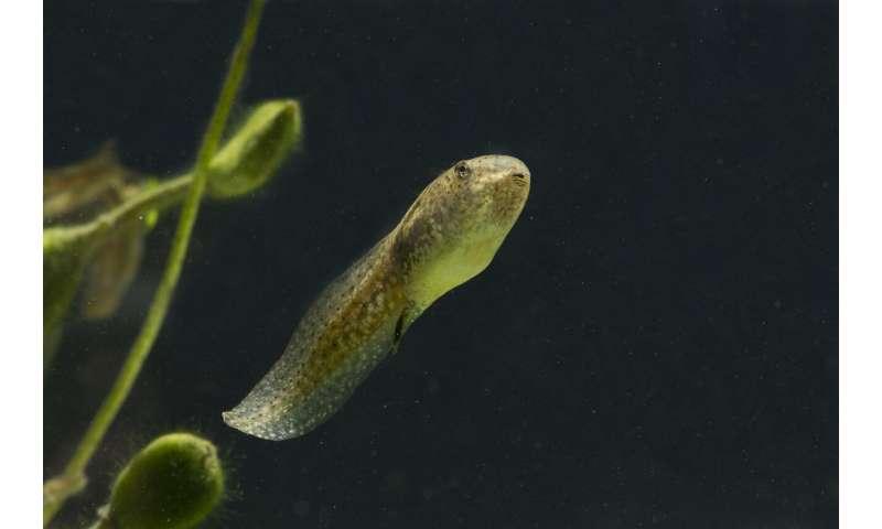 Radioactive tadpoles reveal contamination clues
