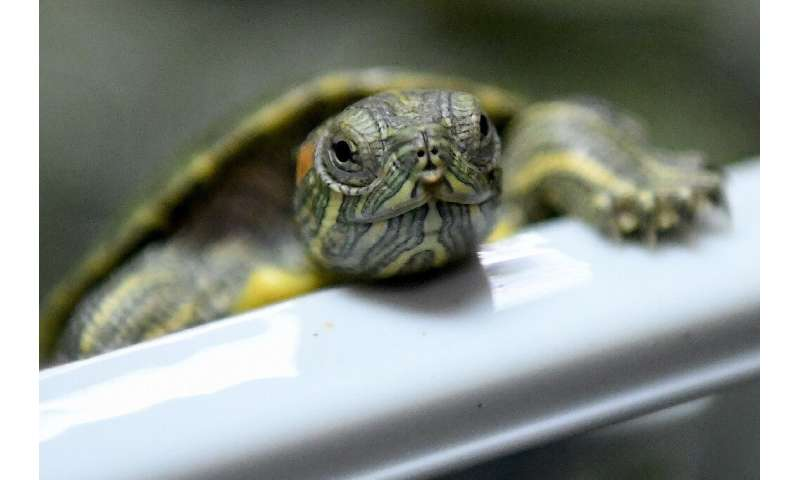 Red-eared terrapins, also known as red-eared sliders, are popular pets