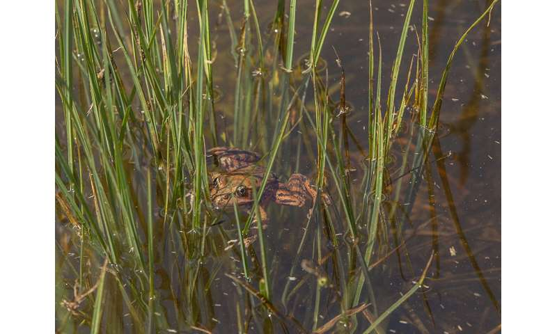 Red-legged frogs thriving in Yosemite after long absence