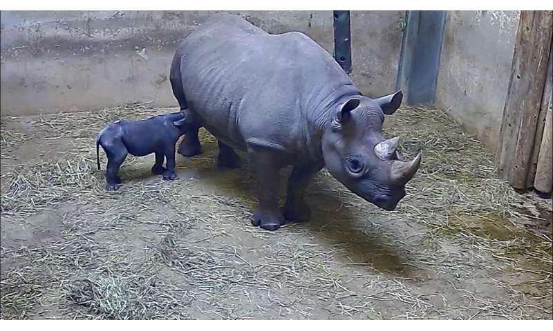 Rhinoceros at Chicago's Lincoln Park Zoo gives birth to calf