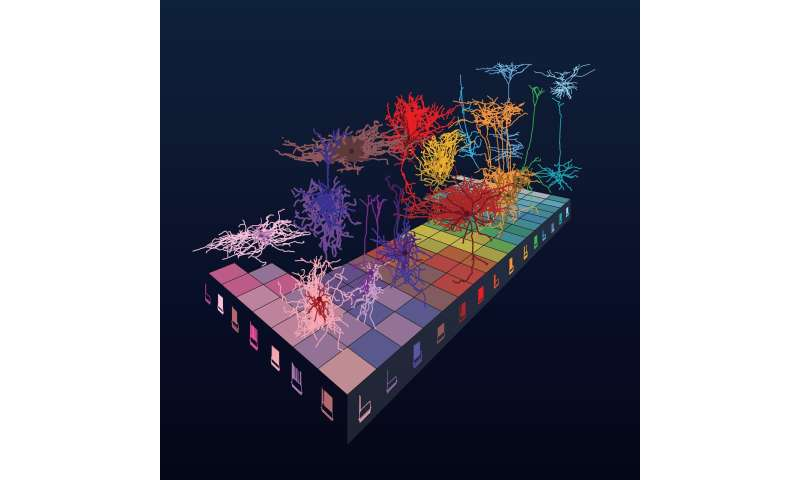 Rules of brain architecture revealed in large study of neuron shape & electrophysiology