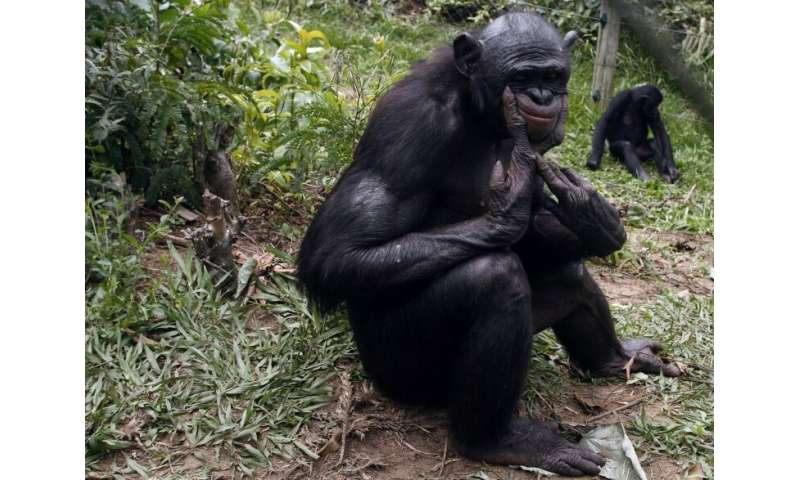 Salonga is the largest area of protected rainforest in Africa and home to 40 percent of the world's remaining bonobo population
