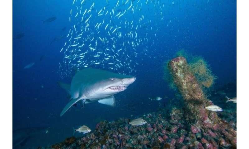 Sand tiger sharks return to shipwrecks off N.C. coast