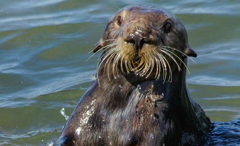 Sea otters' tool use leaves behind distinctive archaeological evidence