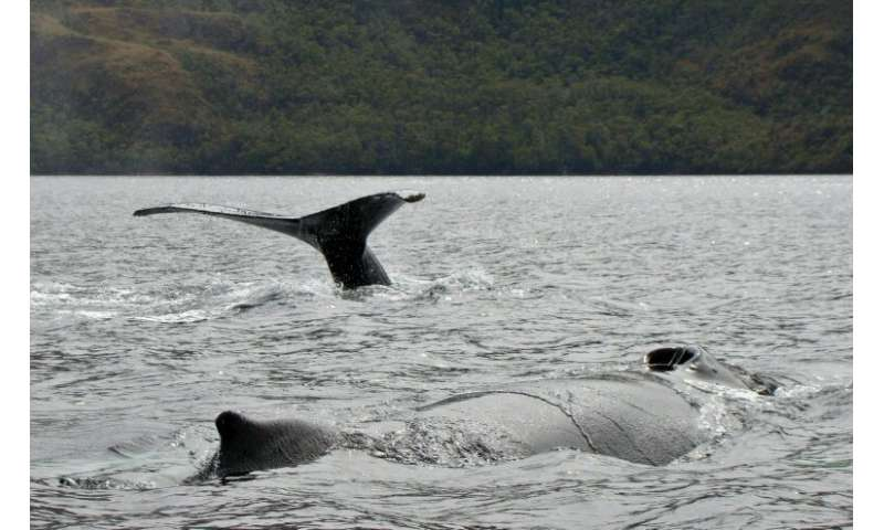Seno Ballena gets its name from the humpback whales that feed in the area