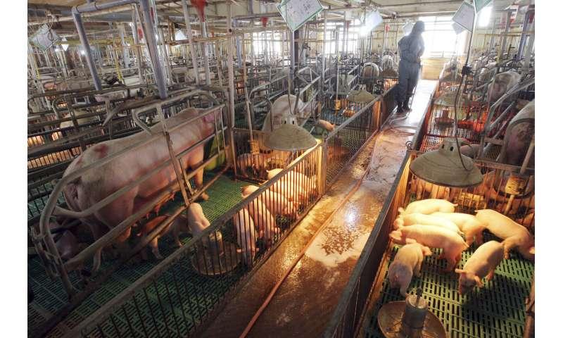 Seoul: North Korea confirms African swine fever outbreak