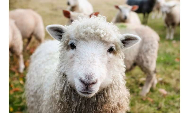 Stressed sheep fleeced for their genes