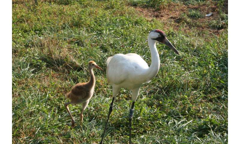 Significant milestone in whooping crane recovery