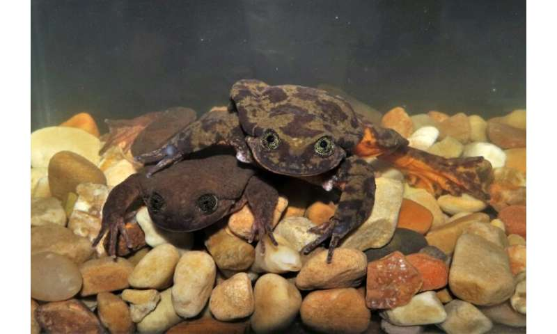 Since meeting Juliet, Romeo has also exhibited a behavior water frog experts had not encountered for this species: a performance