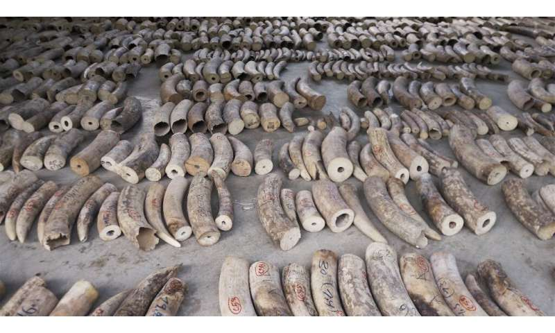 Singapore authorities made their largest ever seizure of smuggled ivory last month, impounding a haul of nearly nine tonnes of c