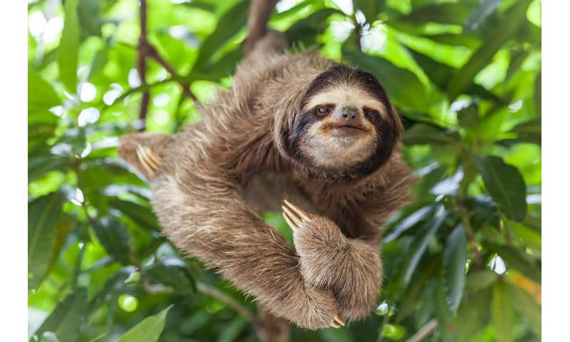 Sloths are far more adaptable than we realised
