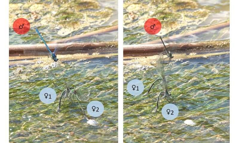 Sneaky mating may be in female damselfies' interest