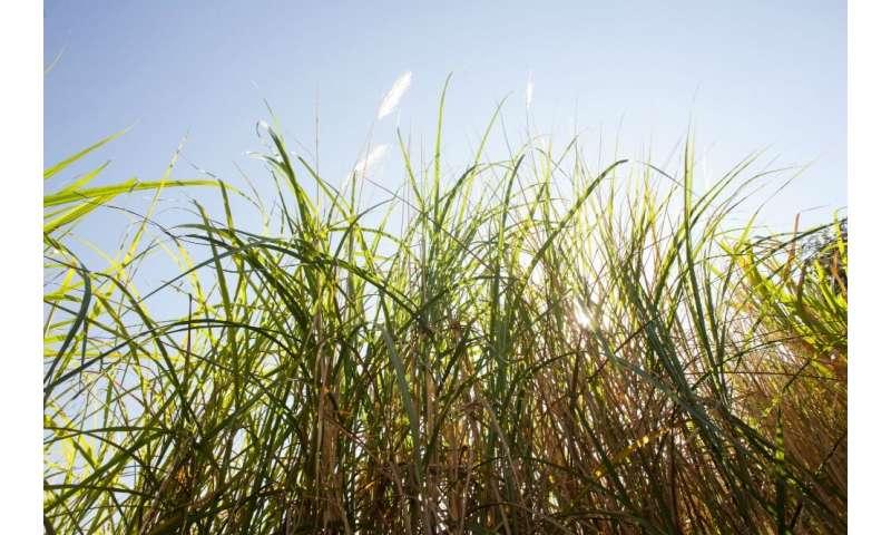 Software locates sugarcane genes of interest