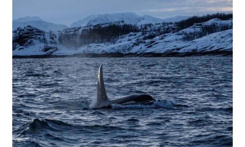 Some researchers say there may even be up to 3,000 orcas in the region, which runs from Norway's northern mainland up to the Sva
