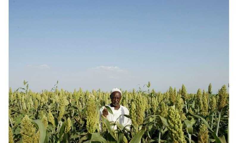 El sorgo también es bueno para la rotación de cultivos porque puede ayudar a sostener y reponer el suelo desgastado por la producción intensiva de maíz.