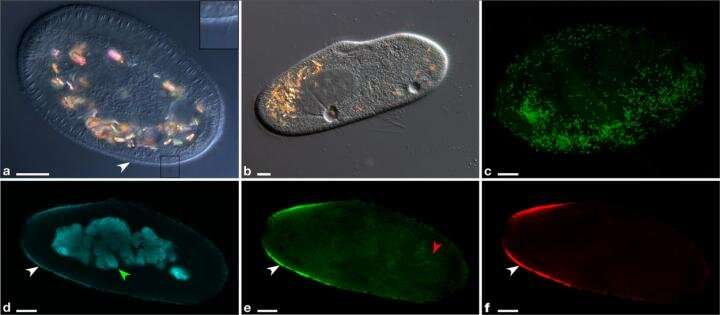 SPbU scientists have discovered the first family of extracellular Rickettsia-like bacteria